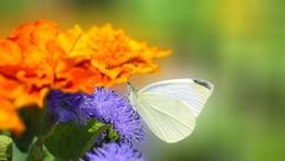 на клумбе / август, лето, всё движется, хорошо, бабочки летают