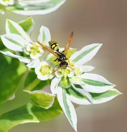 за сладким / лето, осы, всё в цвету, солнечно