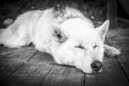 Спокойствие / Мирно спящая хаски в горном парке Рускеала. Думаю, что, когда собака так мирно спит, это может служить гарантом того, что вокруг всё спокойно)))
