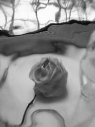 Крик / сухая роза снято через стекло