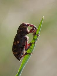 Слоник / Долгоносик сидящий на травине