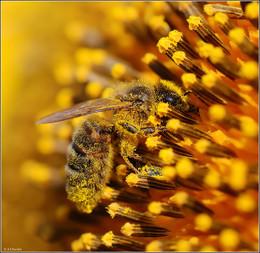 Солнечным деньком на подсолнечном поле ) / Пчела на соцветии подсолнуха