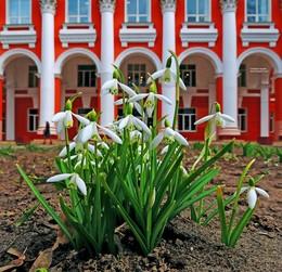 подснежники в городе / первые весенние цветы на клумбе с видом на 2-й университетский корпус имени Ф. Скорины в Гомеле