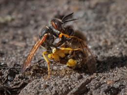 Без компромисов / Пчела и напавшая на нее оса