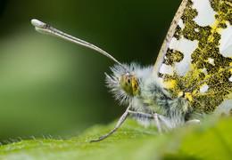 Портрет бабочки / ***