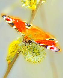 за нектаром / весна, первые пчелы, за деревней, бабочки