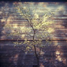 Вишня или яблоня цветет весной у стены дома в Озерках / Вишня или яблоня цветет весной у стены дома в Озерках