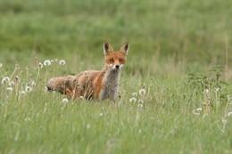 Осторожность / Лисица, во время своей охоты