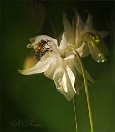 Пчёлка и полевой цветок / Июнь