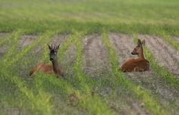 Спокойствие на двоих / Косули в кукурузном поле.