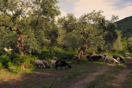 Вечером в оливковом саду / Пасутся овцы.