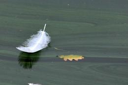 Перо на цветущей воде / ***