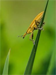 Носатый / Фрачник обыкновенный (Lixus iridis)