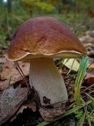 На лесной дорожке... / белый гриб