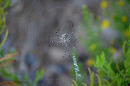 Неаккуратно заштопал... / Паук - агриопа дольчатая - очень крупный паук