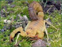 Скорпион / Скорпион общим видом-специально для Are