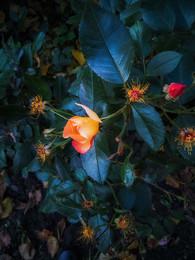 Последние цветы осени / снято на смартфон Huawei P10