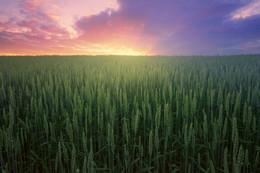 Закат над зерновыми. / Закат над зерновыми. Где-то под Птичью.