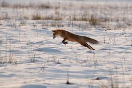 Прыжок на удачу / Лисица во время охоты