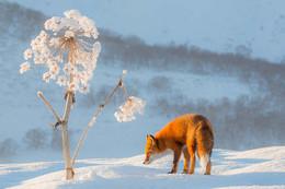 Снежный одуванчик / Камчатка. Лисица около высохшего ст... Борщевика.  https://www.instagram.com/ratbud/