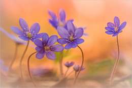 / Leberblümchen Familie im Frühling 2017 Dauert nicht mehr lange und sie blühen wieder.
