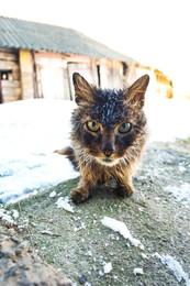 бродячий кот зимой / деревенский бродячий кот