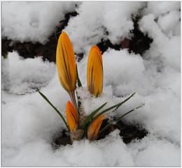 Сугробная жизнь / Апрельские причуды. В старом саду после снегопада.