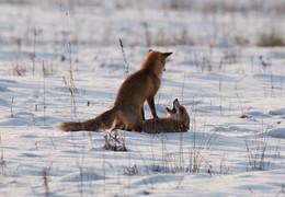 Зимние забавы / Парочка лис в снежных просторах