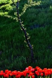 Весенний этюд... / Тюльпаны, дерево, солнечный свет...