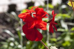 Цветок герани. / Красный .