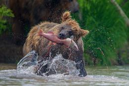 """""""НЕ ДАМ !"""" / рыбалка медведя"""