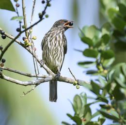 Palmchat / Дулюс, или пальмовый чекан (лат. Dulus dominicus) Пальмовый чекан, национальная птица Доминиканской Республики, она совершенно уникальна! На испанском языке звучит как «cigua palmera», т.е. берет свое название от пальм. На них она создает свои гнезда, а также питается плодами дерева . Пальмовый чекан - эндемичный вид и обитает только на острове Эспаньола (island of Hispaniola).  Это единственный член семьи Dulidae, что делает эту птицу уникальной Они общинные, свои сложные гнезда строят из палочек, которые образуют большое гнездо-квартиру в котором может проживать до 50 особей. Как и доминиканцы Пальмовый чекан довольно шумный вид птиц, но несмотря на это этих птиц почти невозможно увидеть на земле. Несмотря на широкую распространённость пальмового чекана, данный вид не является достаточно изученным, что связано в первую очередь с тем, что он предпочитает обитать в верхних растительных слоях, из-за чего его сложнее наблюдать, чем другие виды птиц на острове.