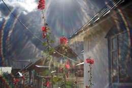 Мальвы / Палисадник с цветами