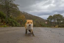 Дорожный патруль / Лиса на лесной дороге. Остров Итуруп.