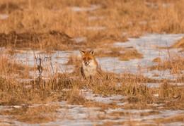 Идеальная маскировка / Лисица во время охоты