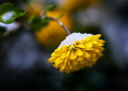 Первый снег... / Ноябрьские хризантемы