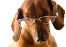 Интеллектуал / Мой пес Дени, ему 12 лет Снимала для стока. Вот нашла примениение свои фотографиям.