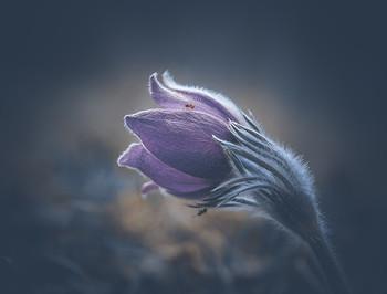 Сон трава. / весенние цветы