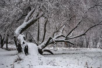 Зимняя зарисовка / Старая ива