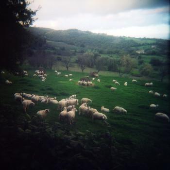 Овцы пасутся у Montefolonico осенью 2013 / Овцы пасутся у Montefolonico осенью 2013