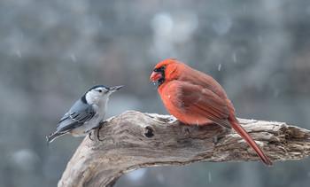 ~= Rivals =~ / ~ = Соперники = ~ В мире животных постоянное соперничество, особенно между видами, однако птицам также присуще терпимость. На снимке Белогрудый поползень и Северный кардинал.