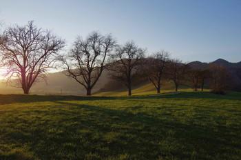 Грушевые деревья на закате. / ***