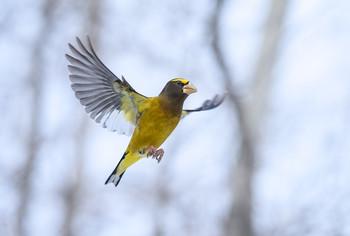 In flight ~ Evening grosbeak (Male) / В полете ~ Вечерний американский дубонос (самец)