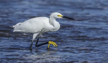 Snowy Egret / Белая американская цапля