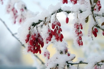 Зимний барбарис. / ***