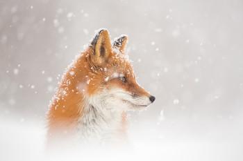 А снег идет… / Камчатка. Снег идет и лиса думает идти ли на охоту))  Фототуры по Камчатке. http://kamphototour.com/page2602160.html