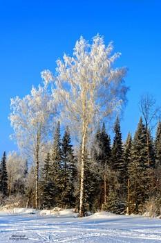 Зимний морозный день... / Ясный зимний день. Солнце светит ослепительно ярко. Вокруг все белым-бело.Очень нарядна под шапками снега ель. В чистом воздухе пахнет хвоей. Красив зимний наряд и у березок...)))