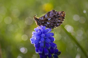 Перламутровка диа / бабочка,цветок,роса