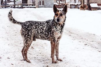 Друг человека. / Сторожевая , с редчайшим окрасом собачка.