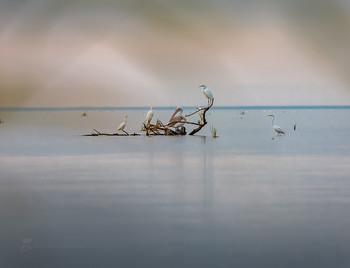 Акварельное утро / Белые цапли и кудрявый пеликан.  Из осенней фотоэкспедиции по Астраханскому заповеднику.  Фотопроект «Дельта Волги». Середина октября, 2018 г.